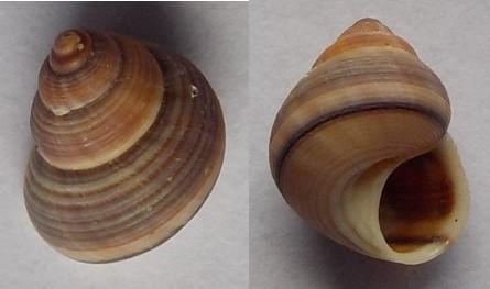 Tropidophora fimbriata  (Lamarck, 1822)  12_5mm10