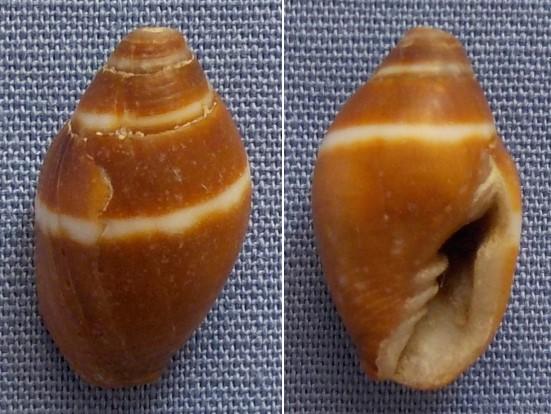 Strigatella auriculoides - (Reeve, 1845)  14_5mm10