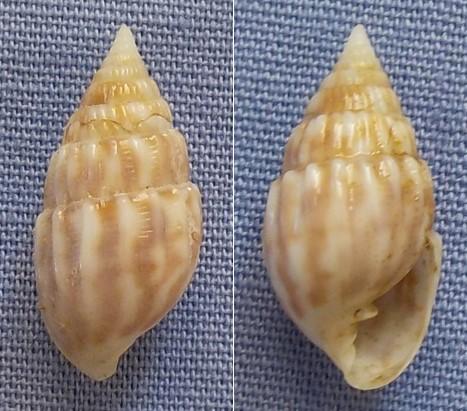 Otopleura auriscati - (Holten 1802) 14mm10