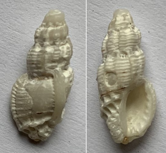 Phrygiomurex sculptilis - (Reeve, 1844) 14mm12