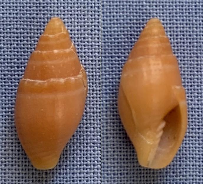 Petite mitre ou costellaire de Taiwan à identifier 14mm13