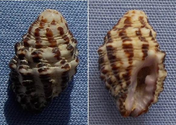 Morula aspera - (Lamarck, 1816)  15mm11