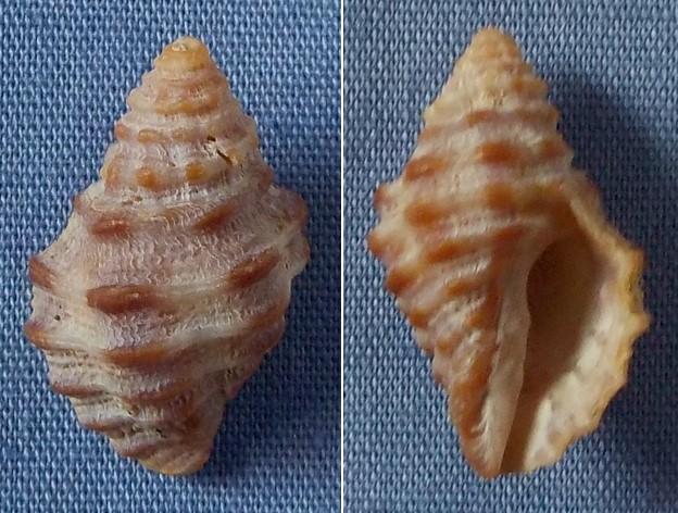 Semiricinula muricoides (Blainville, 1832) cf. 16mm13