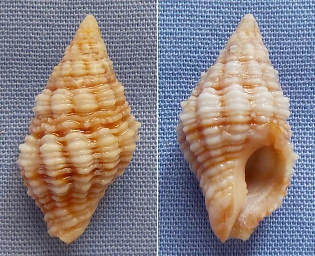Peristernia nassatula - (Lamarck, 1822) 19_5mm10