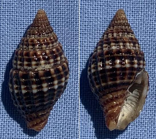 Vexillum unifasciale - (Lamarck, 1811) 19mm_v10