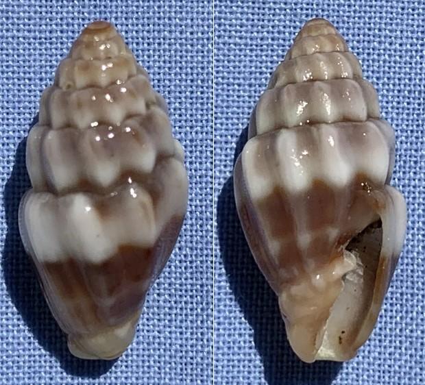 Vexillum cavea - (Reeve, 1844) 19mm_v11