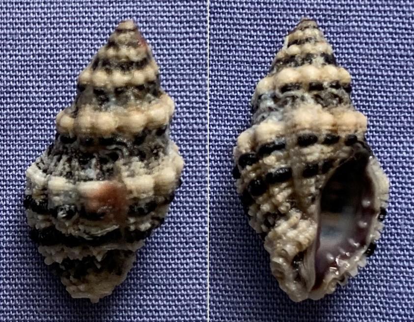 Drupella margariticola - (Broderip, 1833) 20mm11
