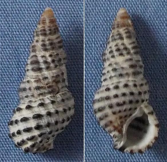 Clypeomorus petrosus (Wood 1828) 21mm11