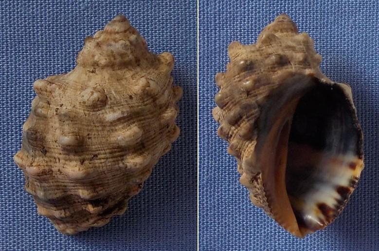 Plicopurpura patula - (Linnaeus, 1758) 22mm11