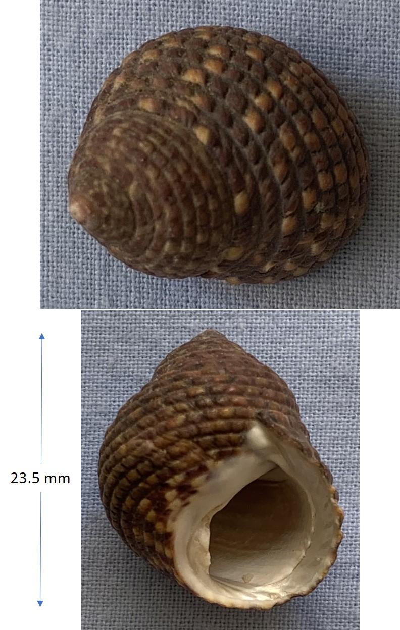 Monodonta labio (Linné 1758)  23_5mm11