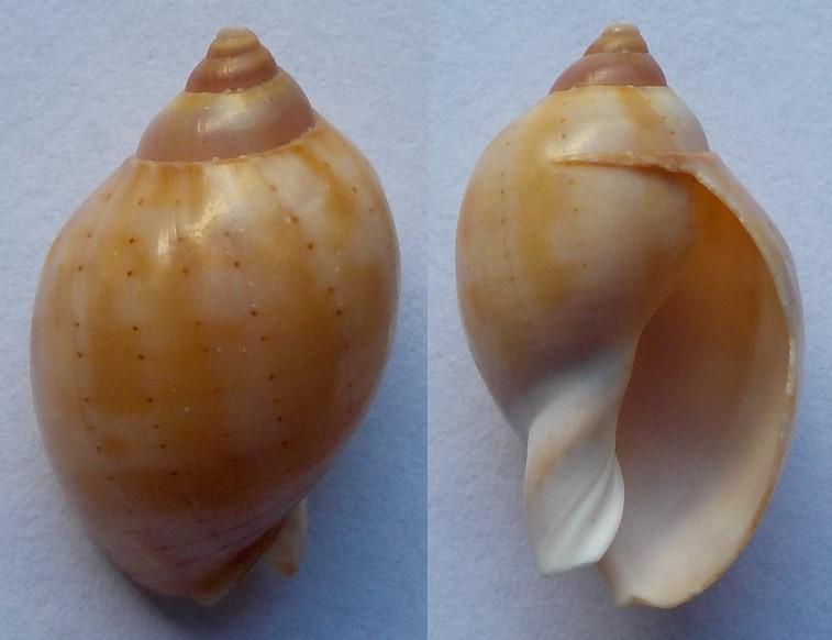 Casmaria erinaceus - (Linnaeus, 1758)  24mm_m10