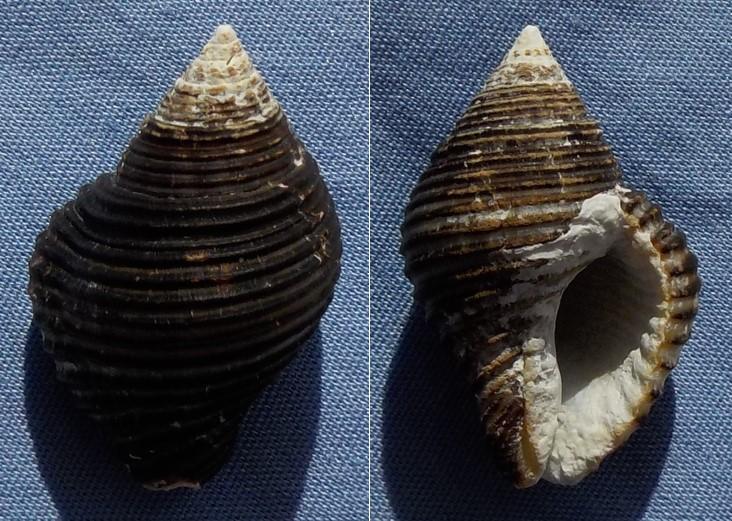 Pollia undosa - (Linnaeus, 1758)  27_5mm10