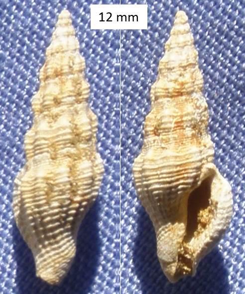 Coquille fossile (Burdigalien / Aquitanien) à identifier Coquil10