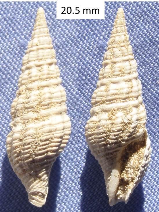 Coquille fossile (Burdigalien / Aquitanien) à identifier (4) Coquil13