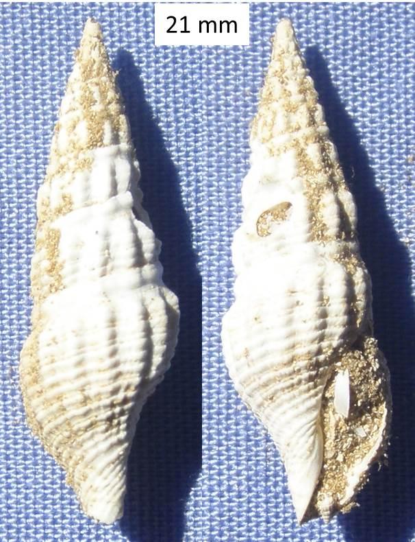 Coquille fossile (Burdigalien / Aquitanien) à identifier (5) Coquil14