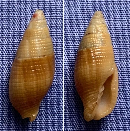 Nebularia pellisserpentis - (Reeve, 1844)  Mitre_12
