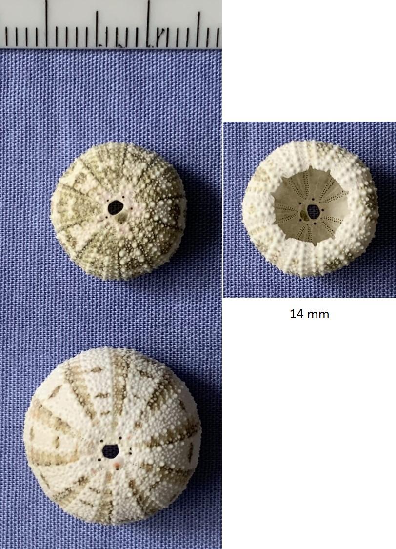 Camarodonta - Toxopneustidae - Nudechinus verruculatus (Lütken, 1864) Nudech10