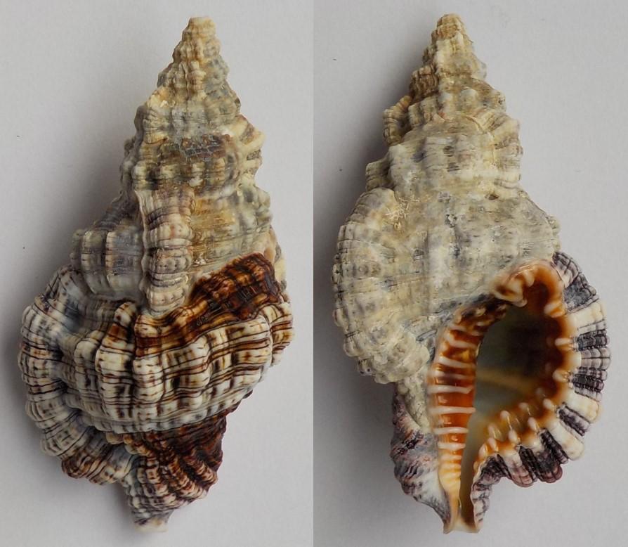 Monoplex nicobaricus (Röding, 1798)  Ranell10