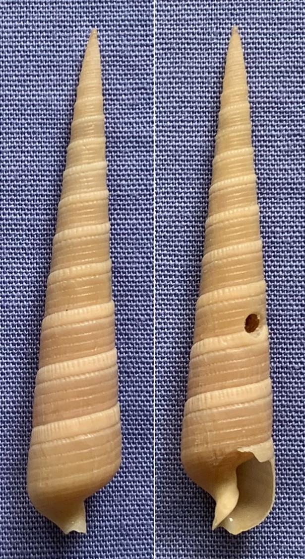 Terebra cingulifera - Lamarck, 1822 Tzorzo13