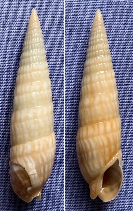Oxymeris cerithina - (Lamarck, 1822) Tzorzo14