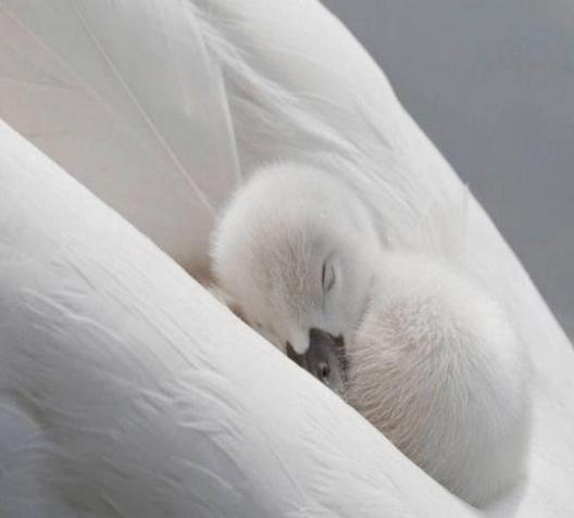 Célébrer la beauté sur le peuple de la paix - Page 3 Canard10
