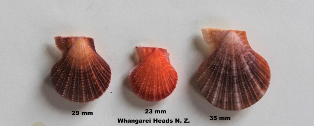 Talochlamys zelandiae - (Gray, 1843)  Img_0030