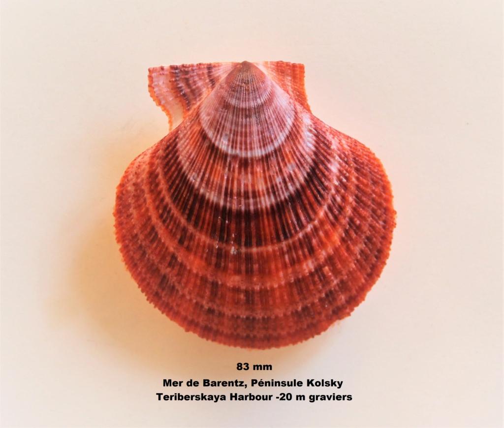 Chlamys islandica - (O. F. Müller, 1776)  Img_0035