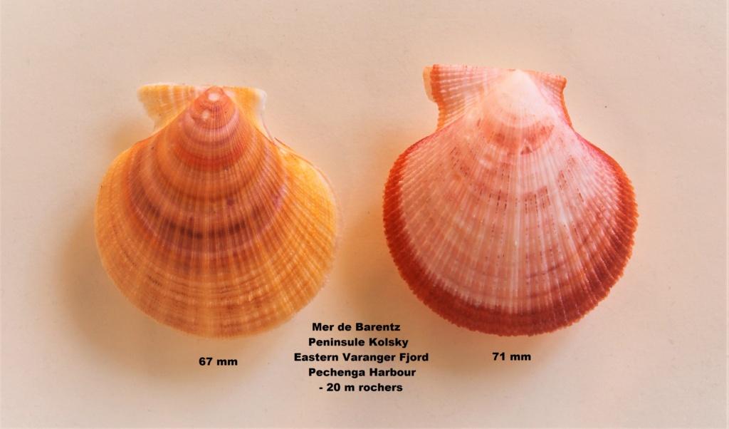 Chlamys islandica - (O. F. Müller, 1776)  Img_0036