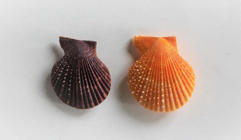Mimachlamys scabricostata - (Sowerby III, 1915)  Img_9110