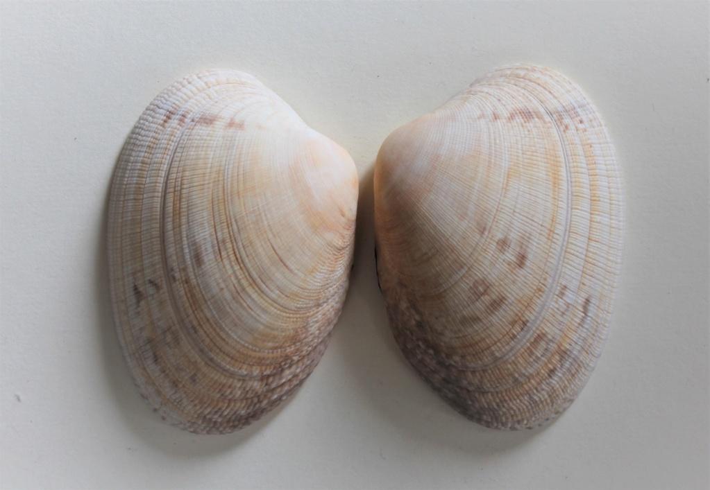 Ruditapes decussatus - (Linnaeus, 1758) Img_9814