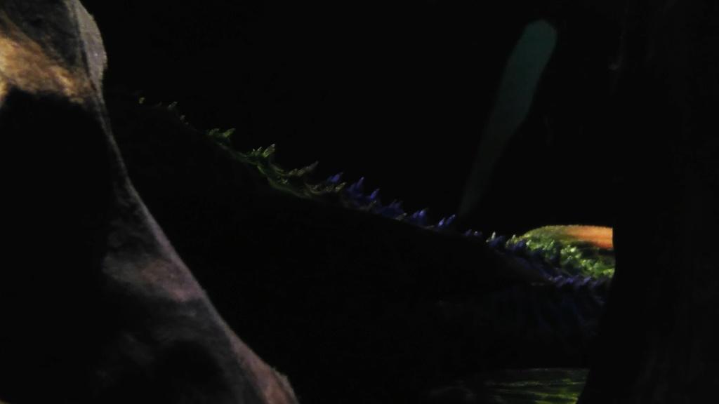 Pseudacanthicus leopardus  (Fowler, 1914) LDA073 L600 - Página 5 Img_2010