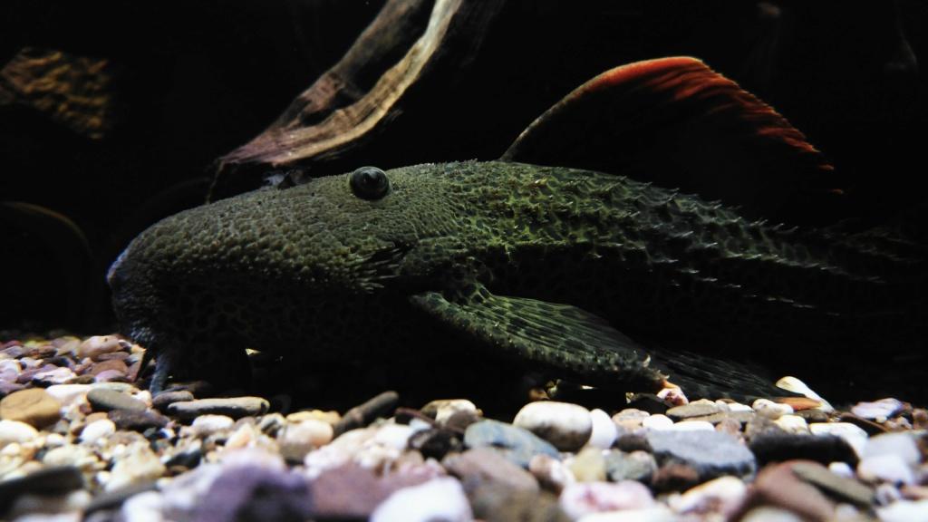 Pseudacanthicus leopardus  (Fowler, 1914) LDA073 L600 - Página 5 Img_2011