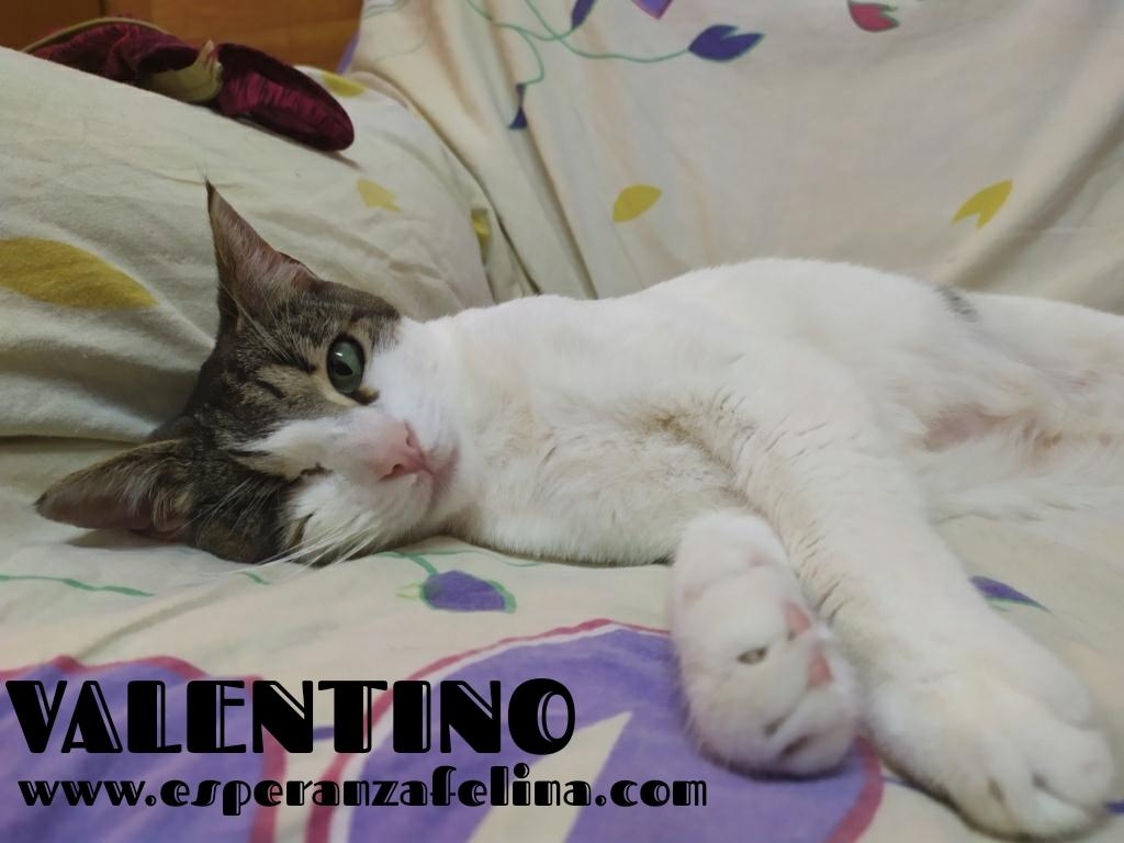 Valentino, gatito muy especial busca hogar. +INMUNO. Álava (F.N aprox. 14/11/2012) Whats288