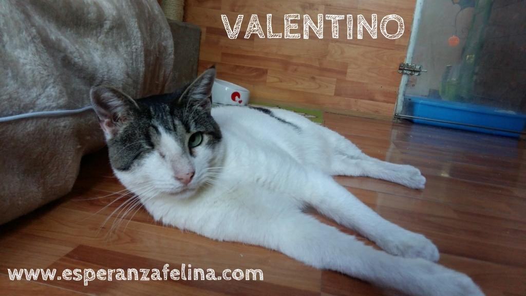 Valentino, gatito muy especial busca hogar. +INMUNO. Álava (F.N aprox. 14/11/2012) Whatsa84