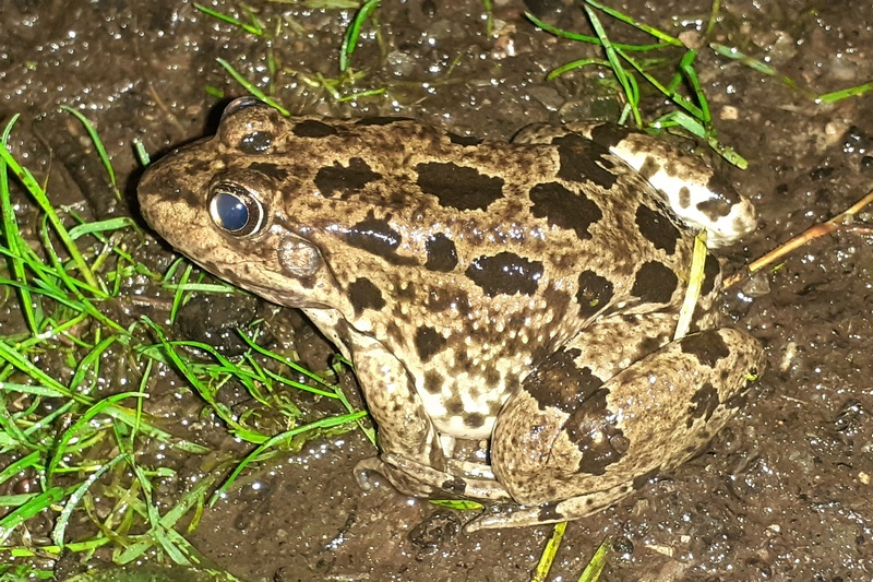 Grenouille rouse ? 20211010