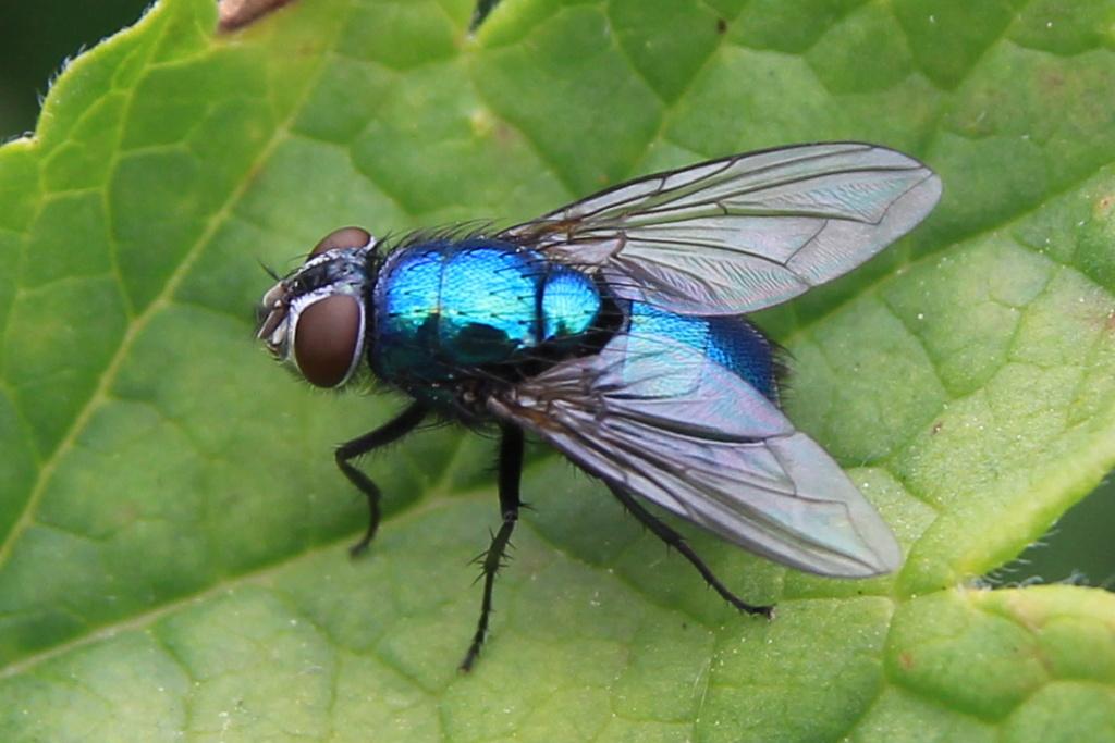 Identification mouche bleue Callip10