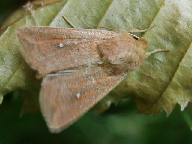 Mythimna albipuncta ? Img_6010