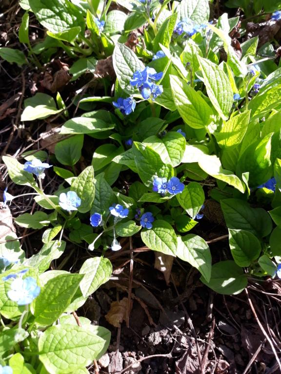 Erste Frühlingsboten im Garten und in Wald und Flur - Seite 88 20200314