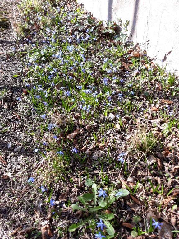 Erste Frühlingsboten im Garten und in Wald und Flur - Seite 88 20200315