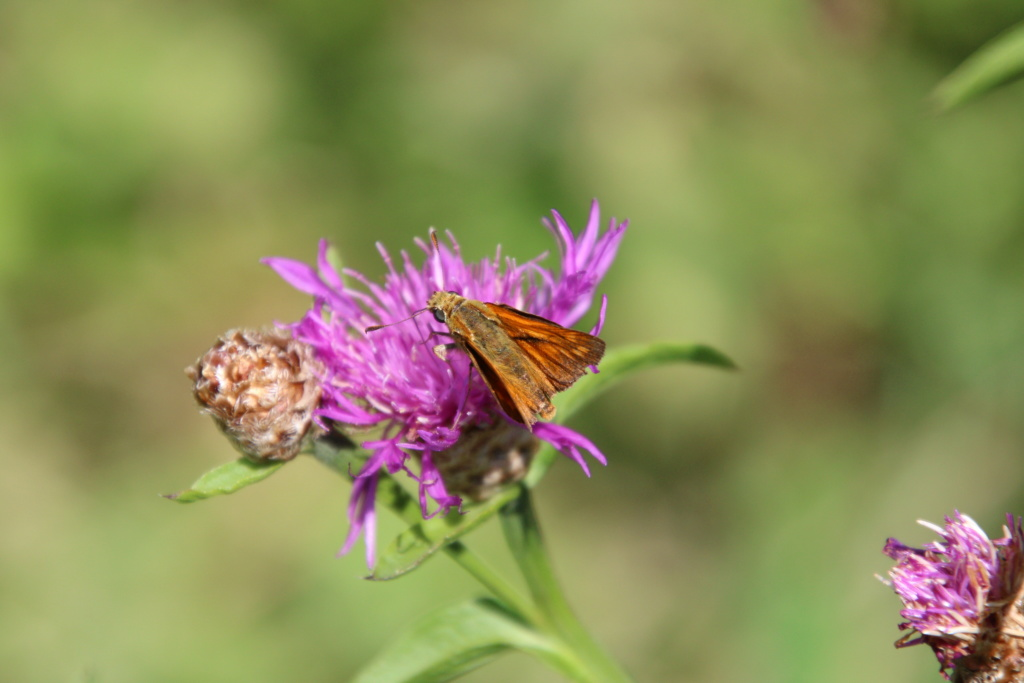 [Ochlodes sylvanus] Papillon or not papillon? Img_0310