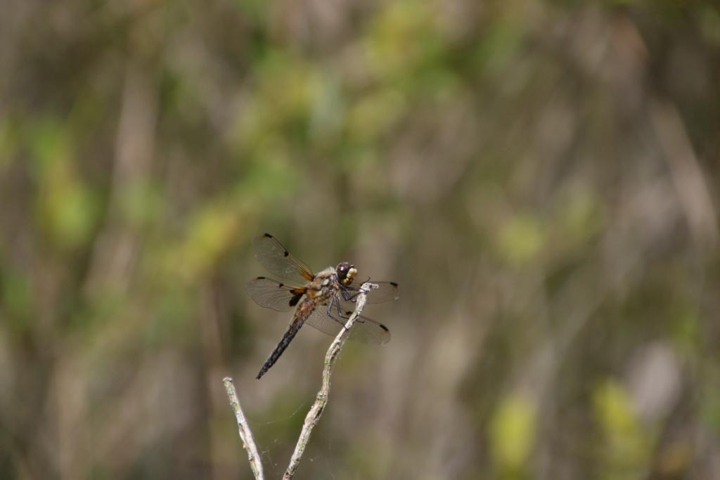 [Libellula quadrimaculata & Orthetrum coerulescens] Quel est cette libellule? Img_9810