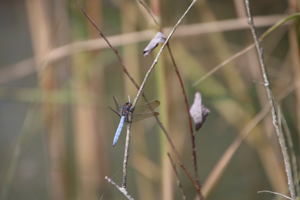 [Libellula quadrimaculata & Orthetrum coerulescens] Quel est cette libellule? Img_9811