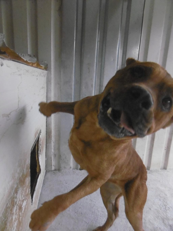BRITNEY - femelle croisée Dogue de Bordeaux - grande taille -  née en 2011 - REMEMBER ME LAND Britne12