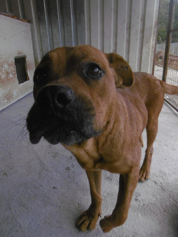 BRITNEY - femelle croisée Dogue de Bordeaux - grande taille -  née en 2011 - REMEMBER ME LAND Britne17