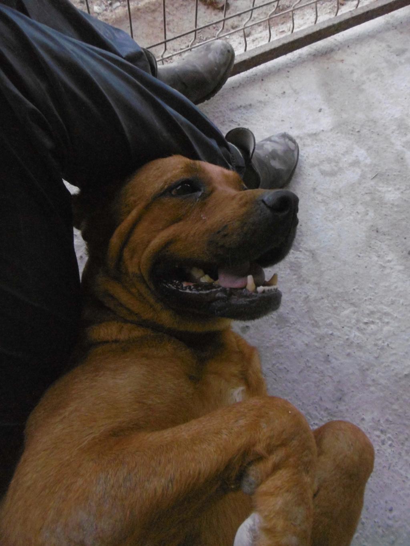 BRITNEY - femelle croisée Dogue de Bordeaux - grande taille -  née en 2011 - REMEMBER ME LAND Britne18