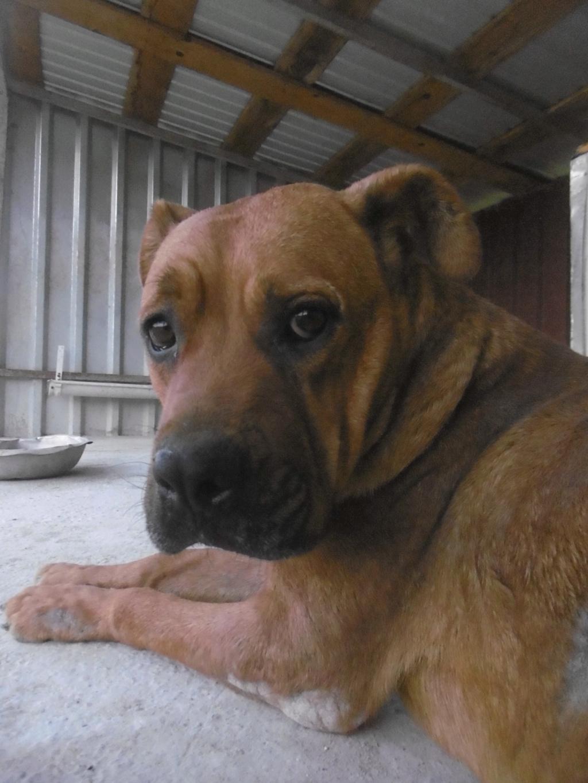 BRITNEY - femelle croisée Dogue de Bordeaux - grande taille -  née en 2011 - REMEMBER ME LAND Britne20