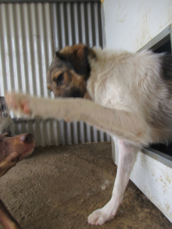 CAJUN - mâle croisée de taille moyenne, né fin 2016 - (PASCANI) - REMEMBER ME LAND Cajun_10