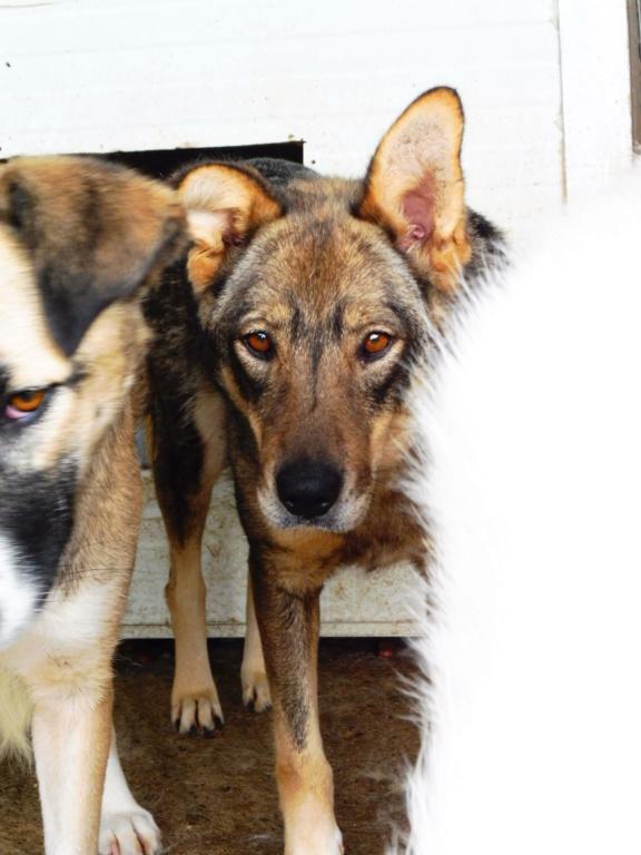 LUPI !! + de 3 ans de box !! - femelle , née environ en 2010, typée chien loup de sarloos, taille moyenne - REMEMBER ME LAND - Page 2 Lupi_610