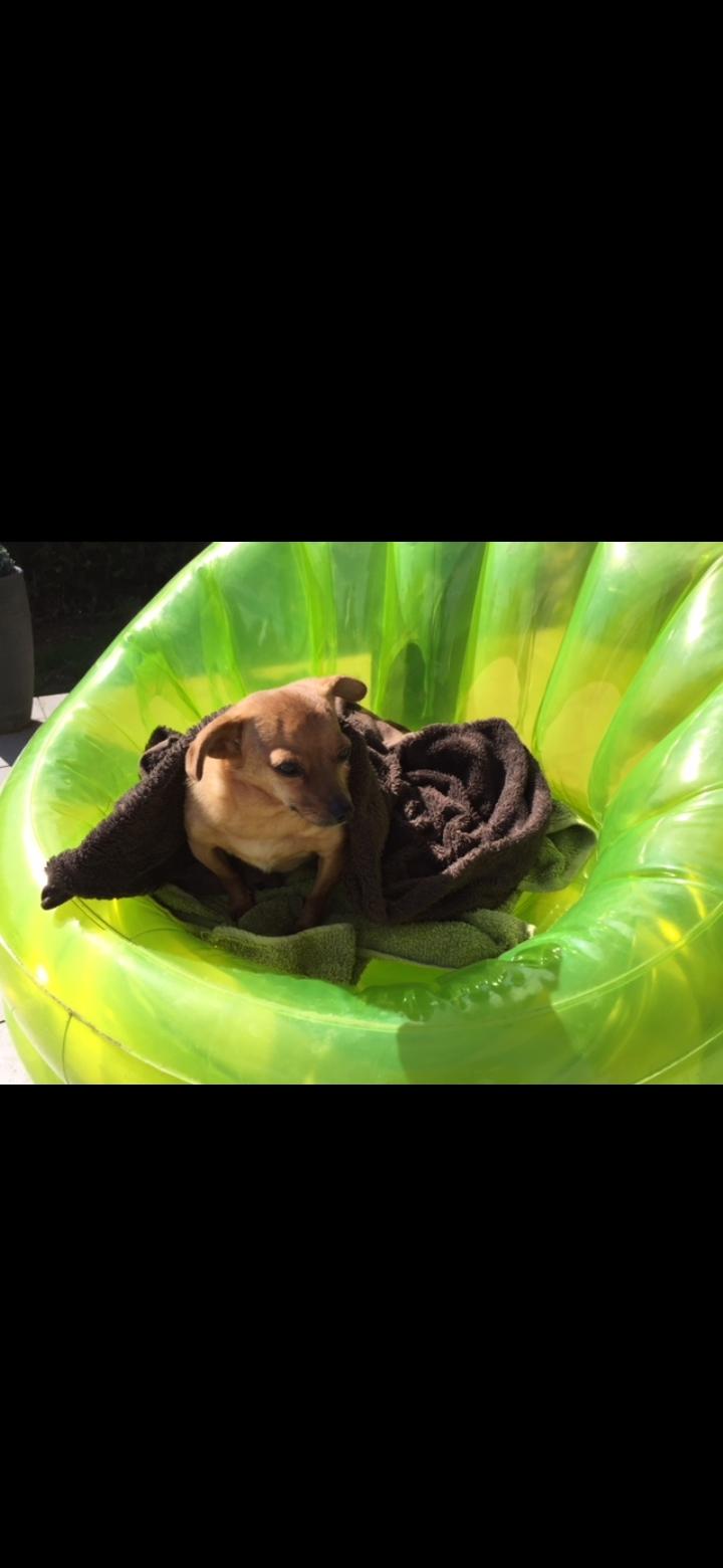 CLARINETTE - Femelle croisée pinscher, de petite taille (mini 5kg) - née environ en septembre 2012 - Adoptée par Brigitte (55)  - Page 2 Scree554