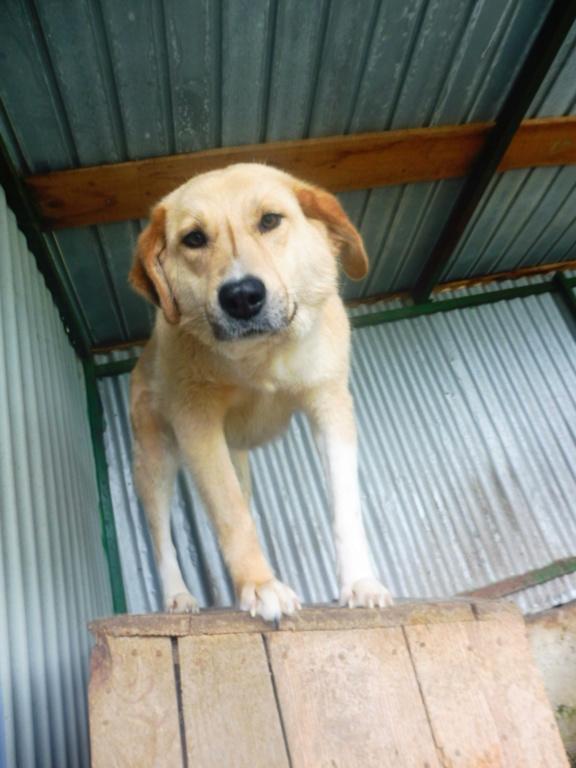 SHYVA - femelle croisée Labrador de taille moyenne à grande, née environ en février 2014 - (Pascani) adoptée par Aurélie (Belgique) - DECEDEE - Page 3 Shyva_10